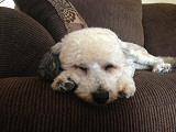 Our dog Bruno.  Sleeping before his journey to Costa Rica