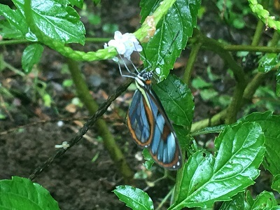 A beautiful Costa Rican butterfly clings to a plant