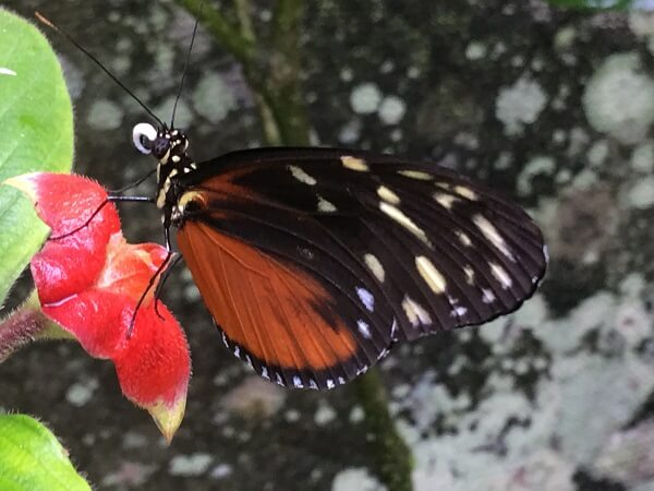 One example of a beautiful butterfly in Costa Rica.