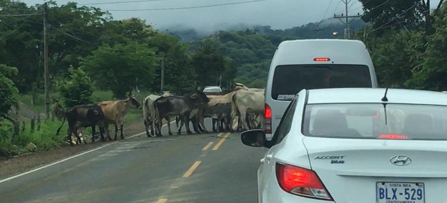 Cattle herd blocks traffic on a Costa Rica road.