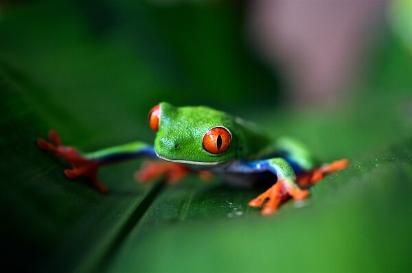 Green Dart frog