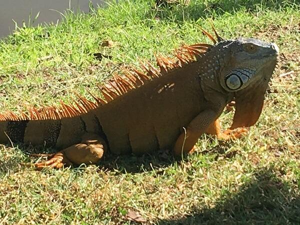 Giant iguana basking in the sun