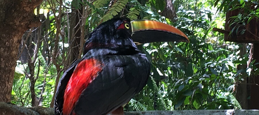 One of Costa Rica's many Toucans.