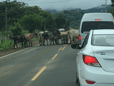 Cattle cross the road in Costa Rica.