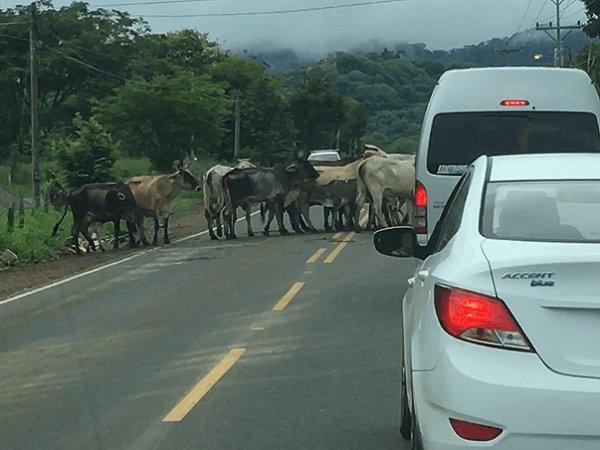 Heard of cattle blocks the road in Costa Rica.