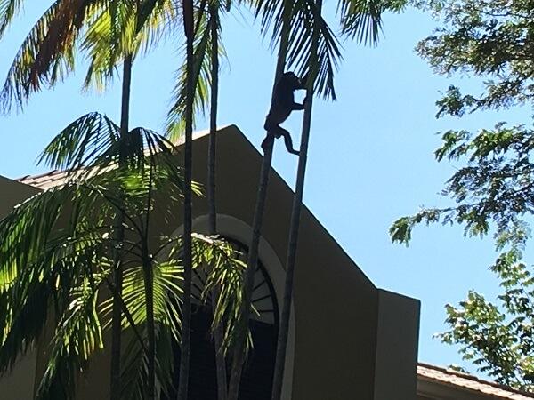 Howler monkey climbing through the trees.